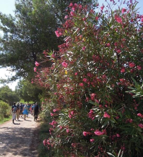populonia-resized-oleander